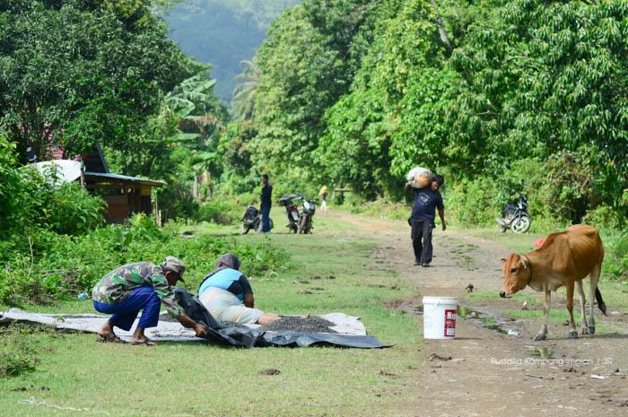 Masyarakat Lapeng sedang menjemur kopi hasil panen dari kebun mereka.